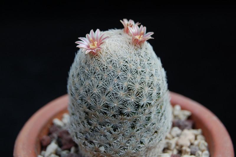Mammillaria denudata 2752-219