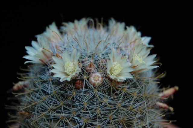 Mammillaria ojuelensis Rep 629 2763-211