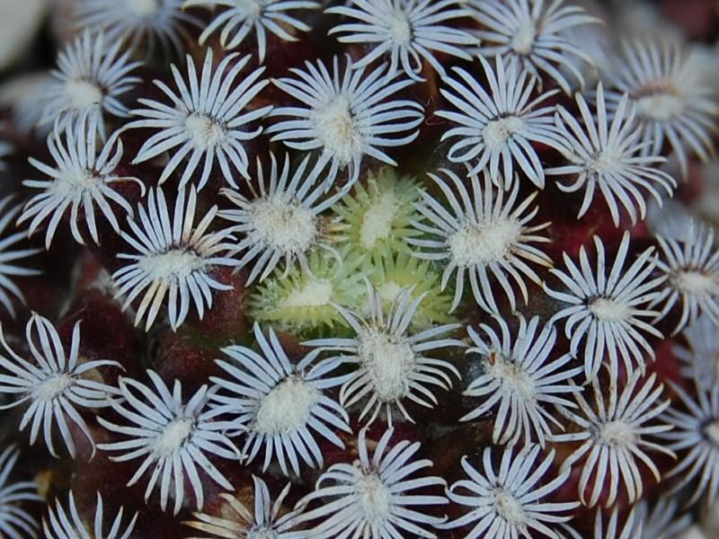 Mammillaria hernandezii 2866-210