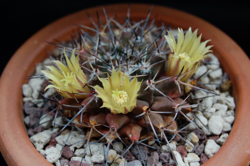 Mammillaria freudenbergeri 3065-210