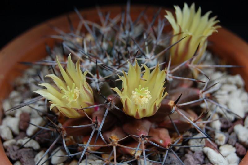 Mammillaria freudenbergeri 3065-211