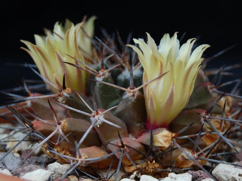 Mammillaria freudenbergeri 3065-213