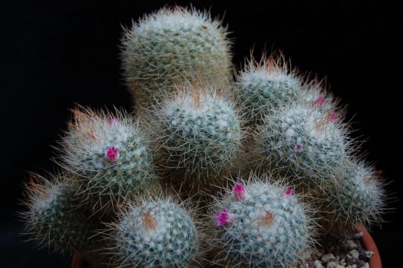 Mammillaria geminispina 3083-210