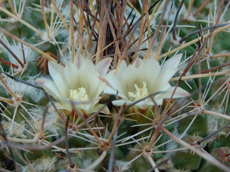 Mammillaria melanocentra 3147-m12