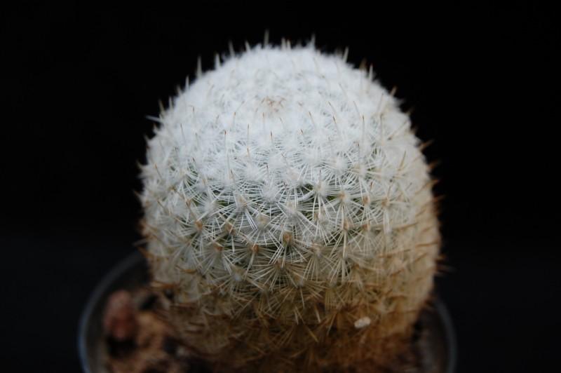 Mammillaria monticola 3165-m10
