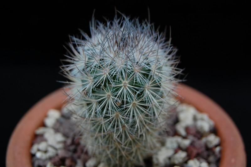 Mammillaria pottsii 3268-210