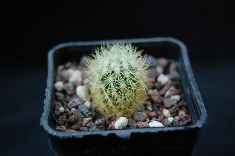 Mammillaria mieheana 3322-210