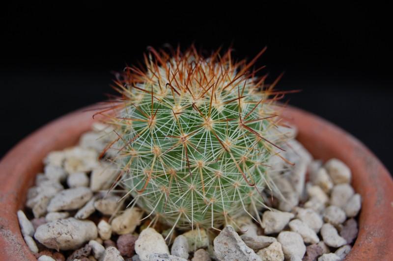 Mammillaria kladiwae 3454-k10