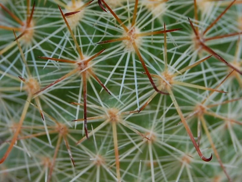 Mammillaria kladiwae 3454-k11