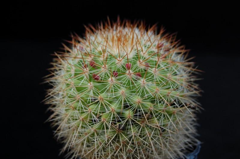 Mammillaria kladiwae 3455-k10