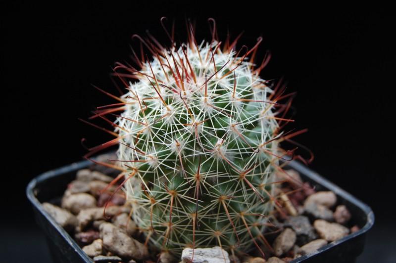 Mammillaria duoformis 3608-d10