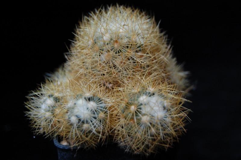Mammillaria mieheana 3689-211