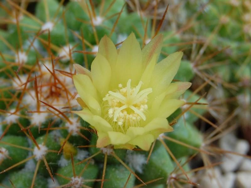 Mammillaria marksiana 539-2010