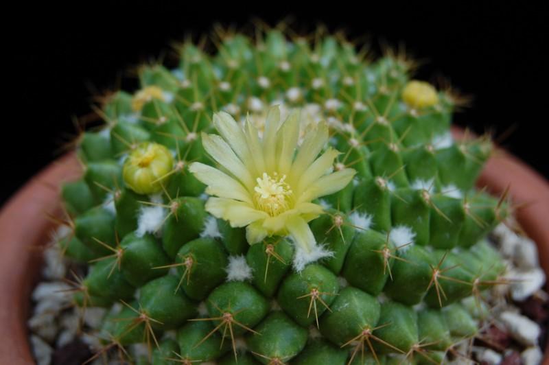Mammillaria marksiana 633-2010