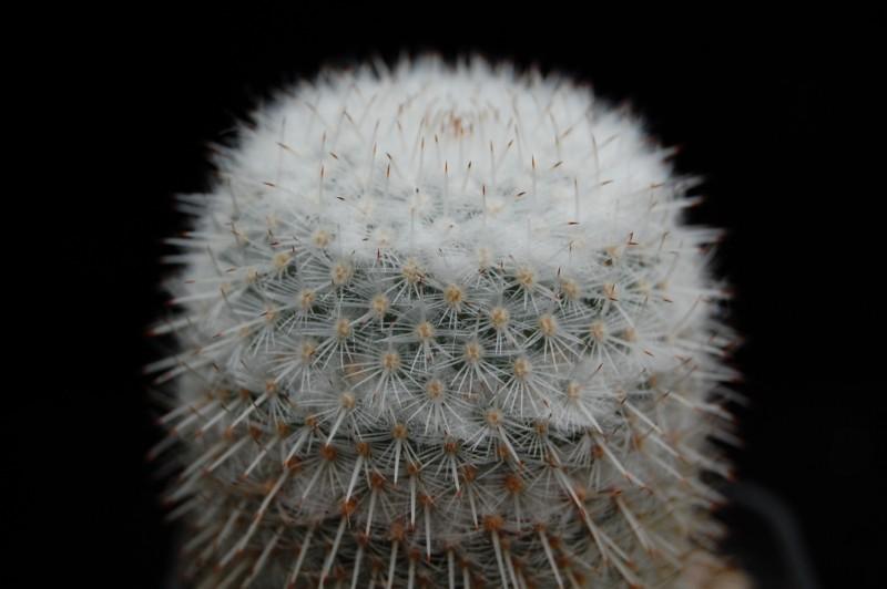 Mammillaria albilanata Albila11