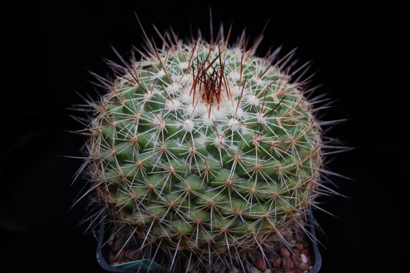 Mammillaria antesbergeriana Antesb10