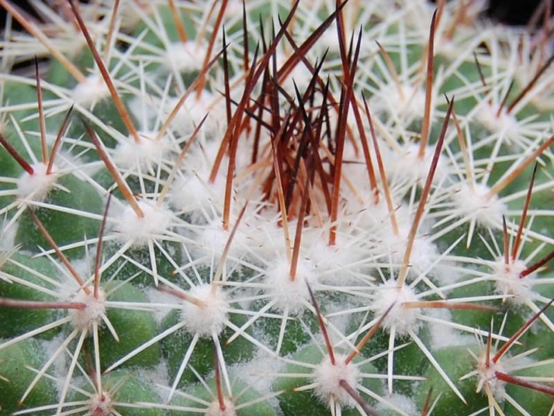 Mammillaria antesbergeriana Antesb11