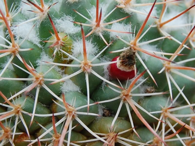 Mammillaria apozolensis    Apozol13