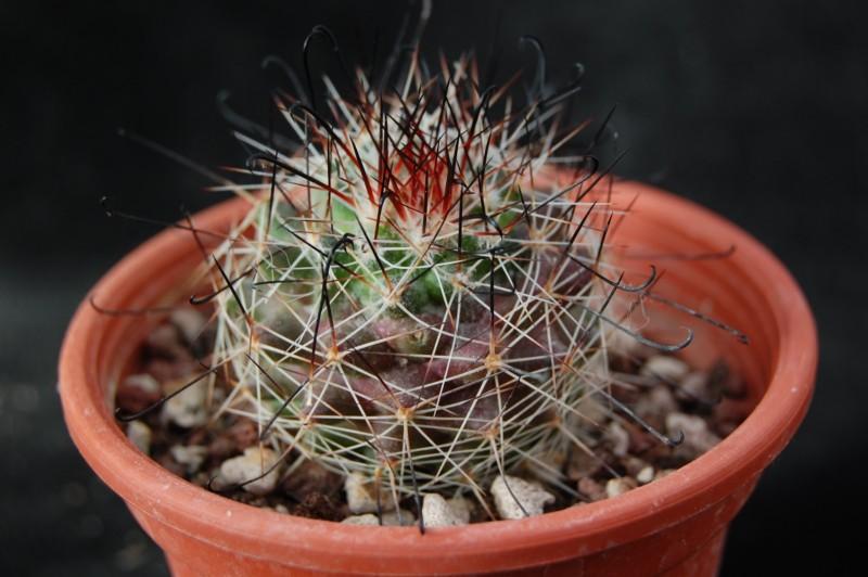 Mammillaria beneckei Beneck11