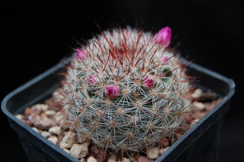 Mammillaria berkiana Berkia10