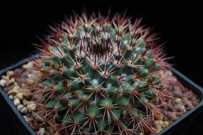 Mammillaria bocensis Bocens10
