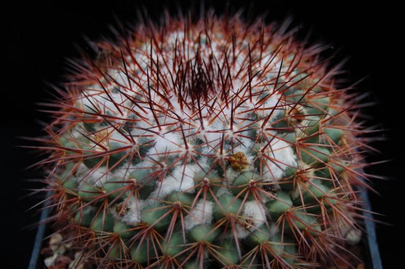 Mammillaria bocensis Bocens16