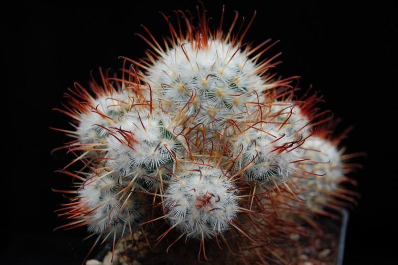 Mammillaria bombycina Bombyc11