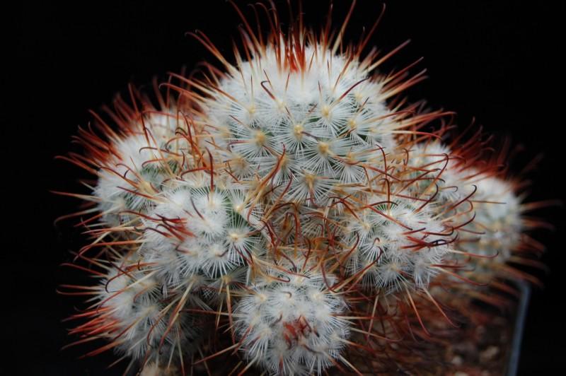 Mammillaria bombycina Bombyc12