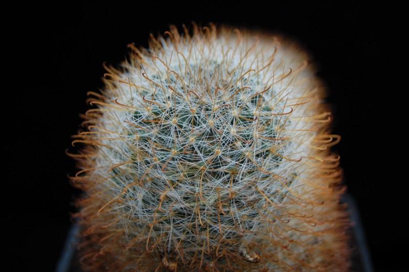 Mammillaria brevicrinita Brevic10