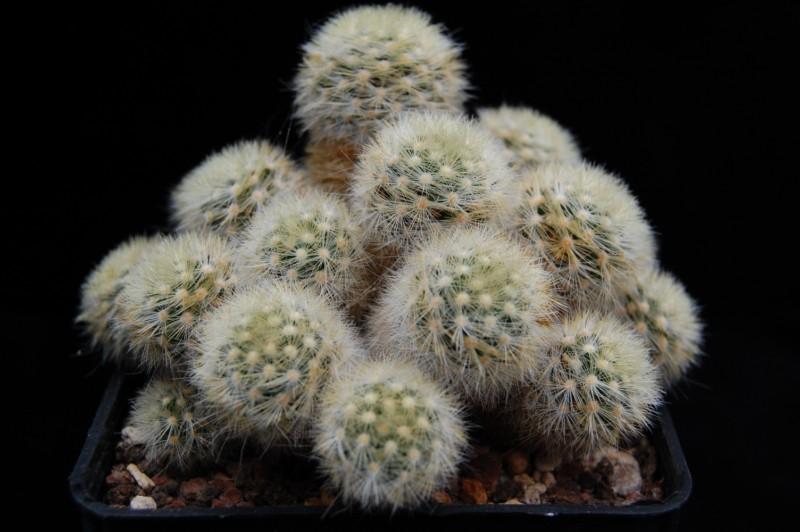 Mammillaria carmenae Carmen10