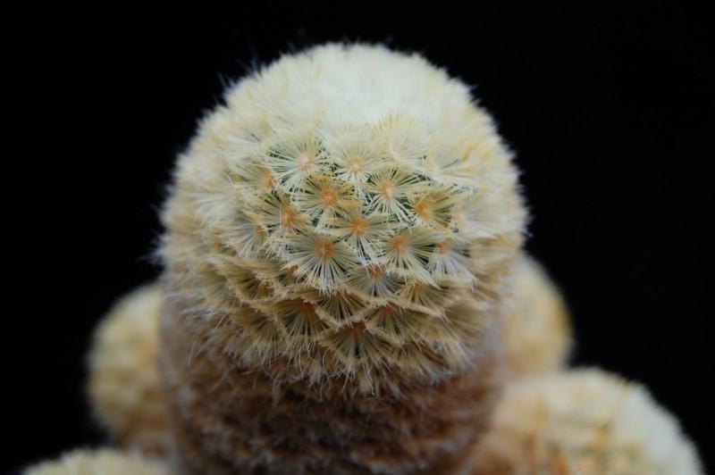 Mammillaria carmenae Carmen12