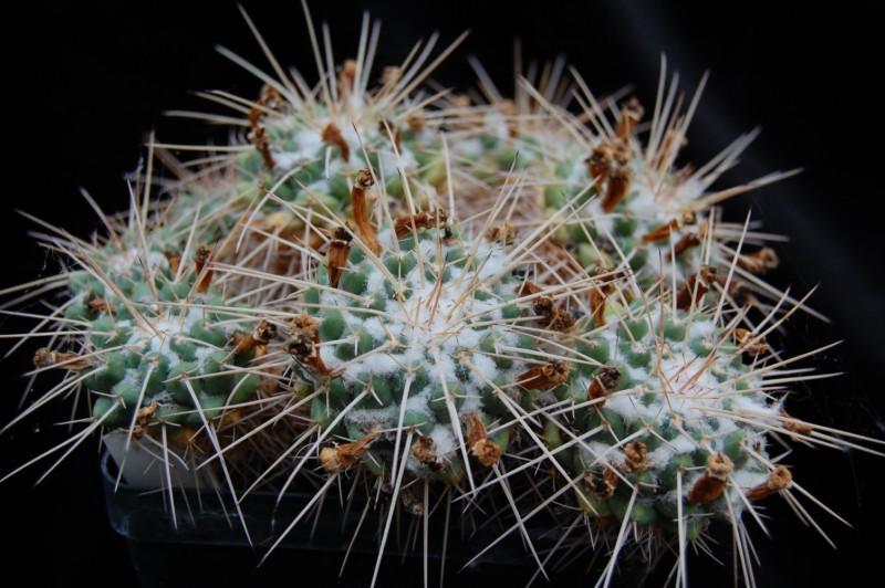 Mammillaria compressa Compre10