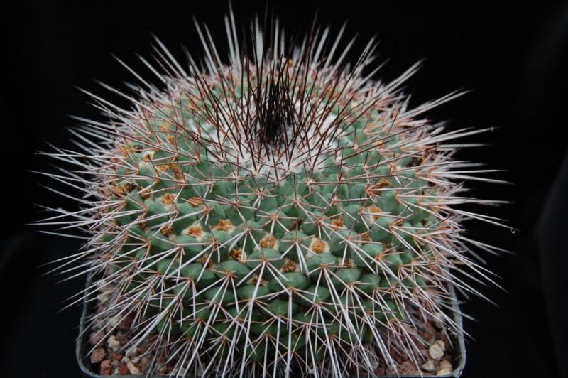 Mammillaria craigii Craigi10