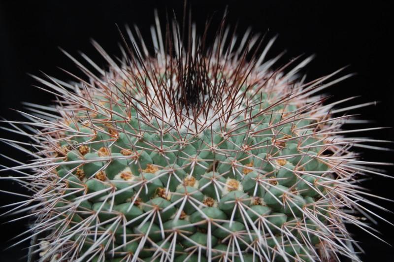 Mammillaria craigii Craigi11