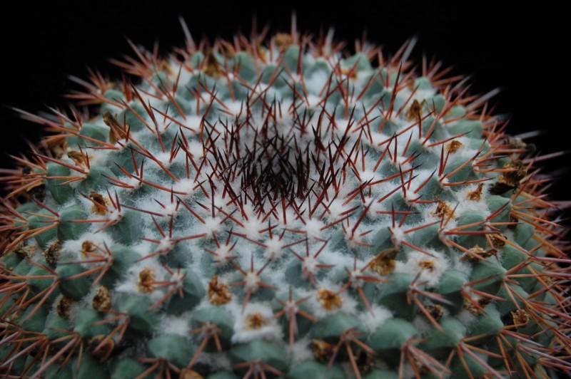 Mammillaria craigii Craigi12