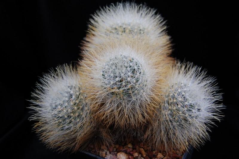 Mammillaria crinita Crinit11