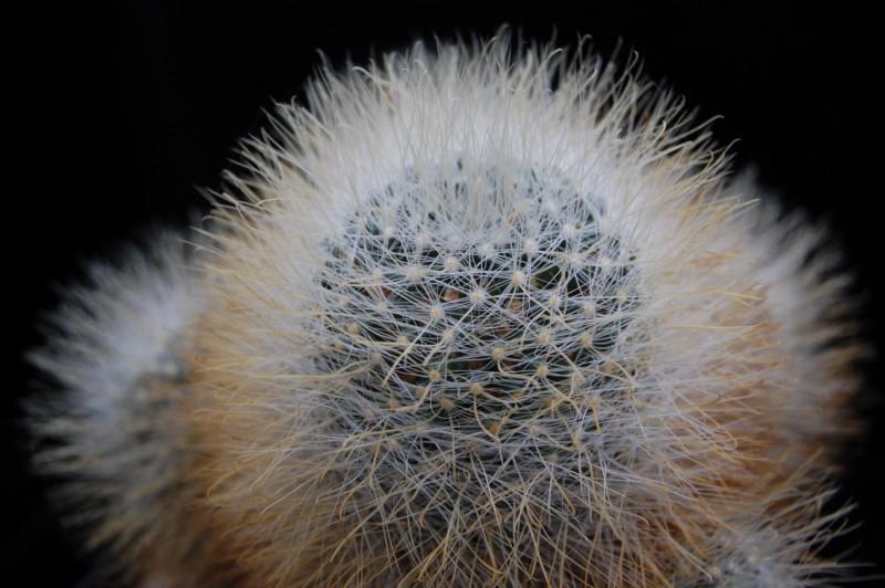 Mammillaria crinita Crinit12