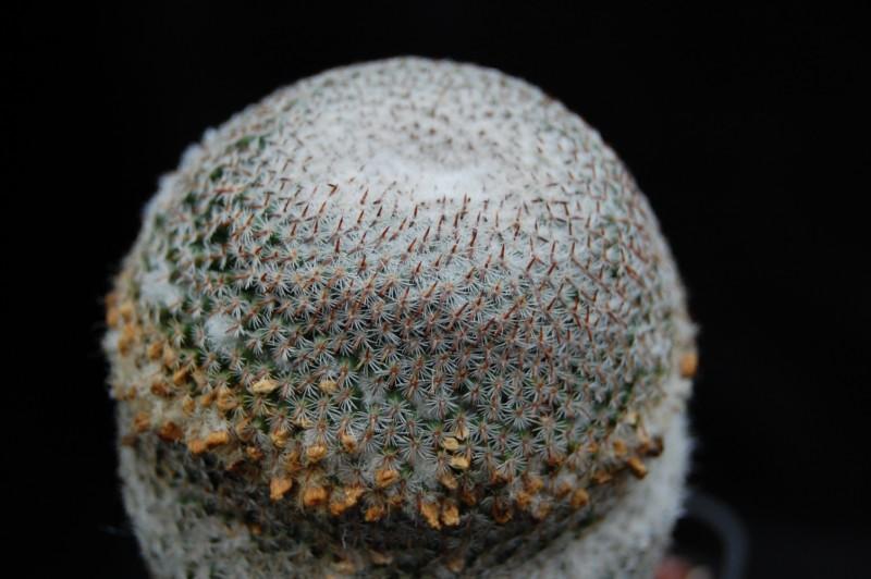 Mammillaria crucigera Crucig13