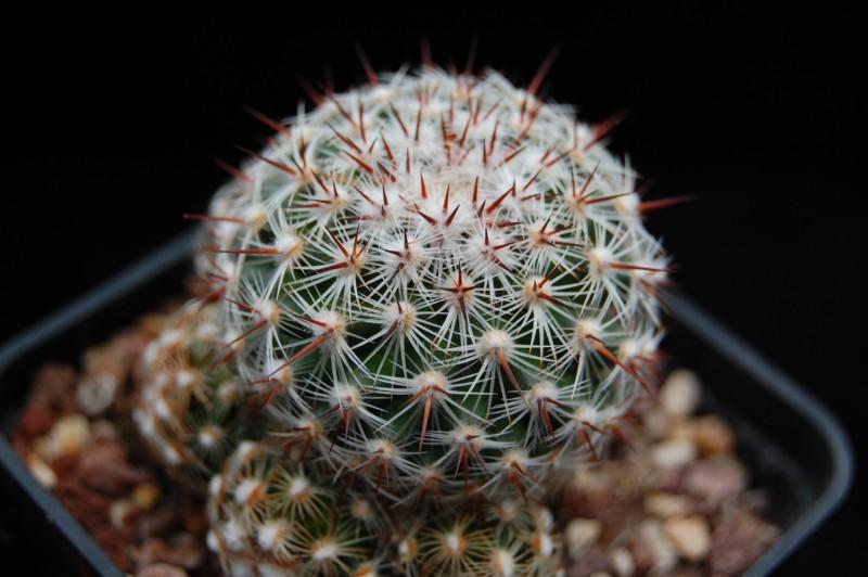 Mammillaria deherdtiana Deherd11