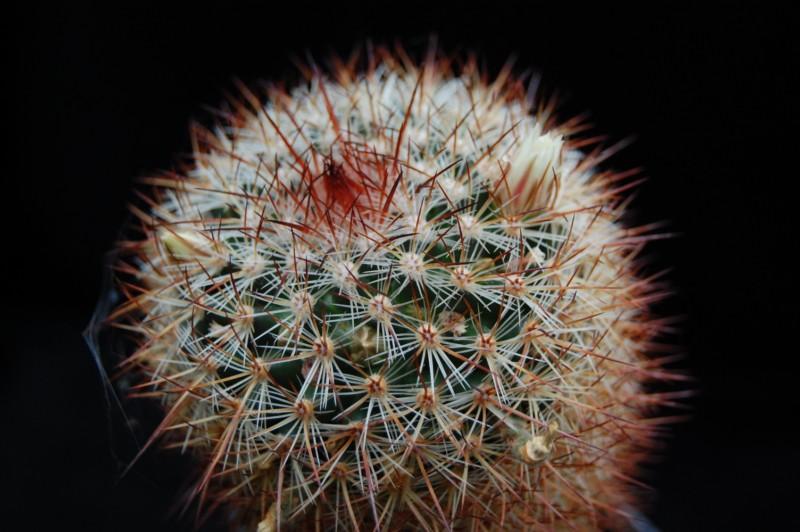 Mammillaria discolor Discol10