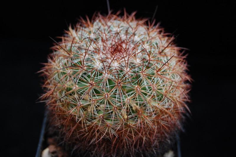 Mammillaria discolor Discol13