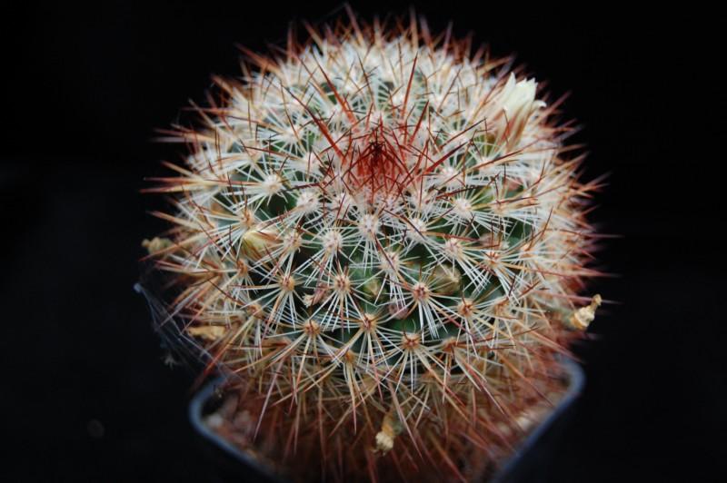 Mammillaria discolor Discol15