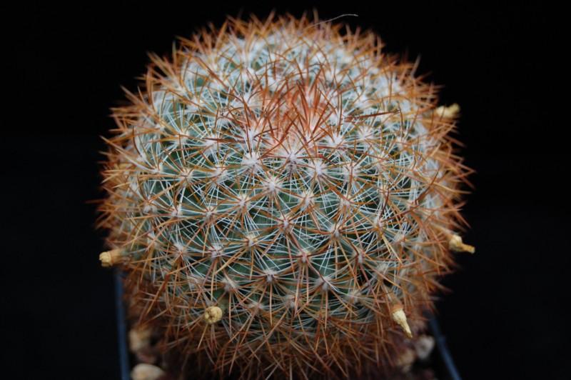 Mammillaria discolor Discol16