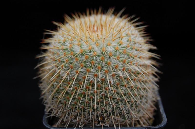 Mammillaria dixanthocentron Dixant16