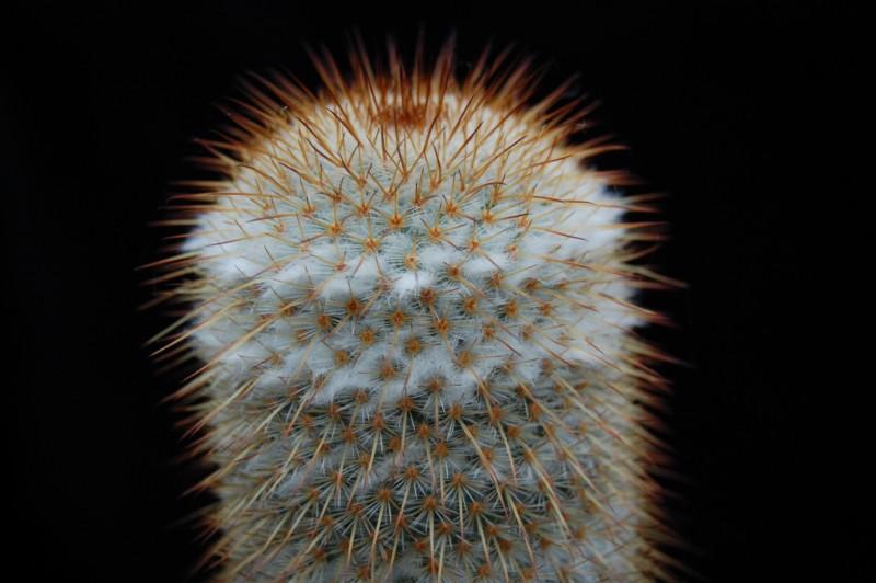 Mammillaria dixanthocentron Dixant21
