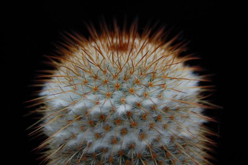 Mammillaria dixanthocentron Dixant22