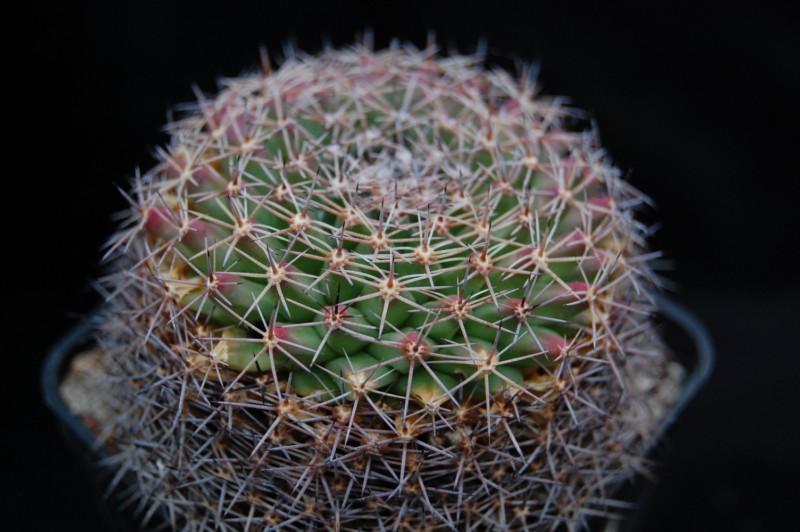 Mammillaria durangicola Durang10