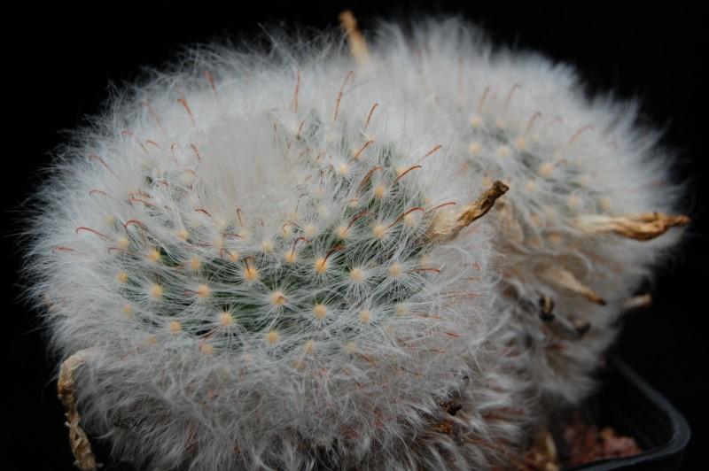 Mammillaria guelzowiana Guelzo11