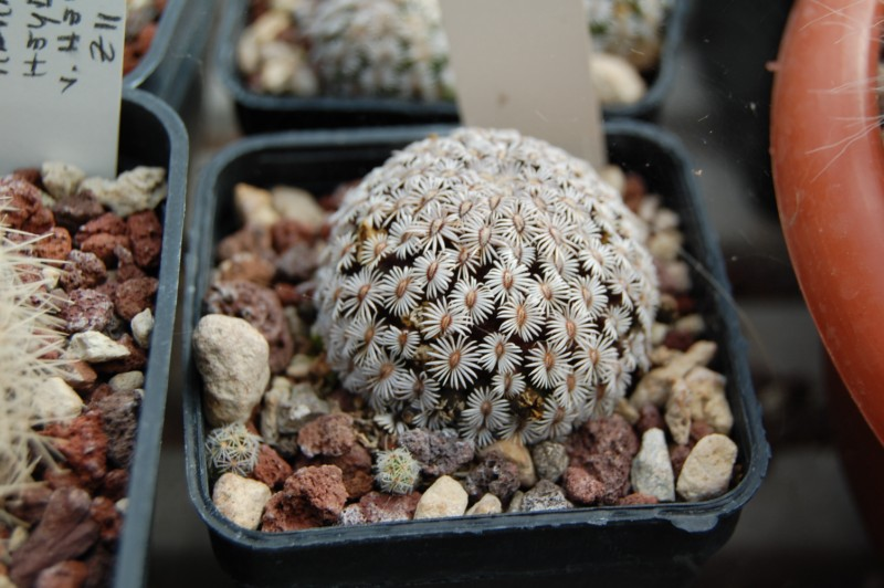 Mammillaria hernandezii Hernan10