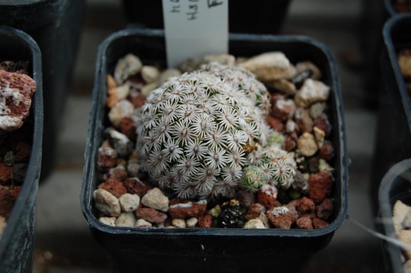 Mammillaria hernandezii Hernan11